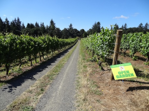 We walked down this vineyard road to get to the garden.
