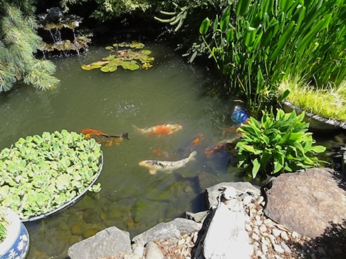 Again, I wonder what protects the enormous koi from herons and raccoons.