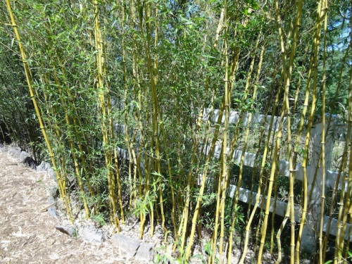 living bamboo screen