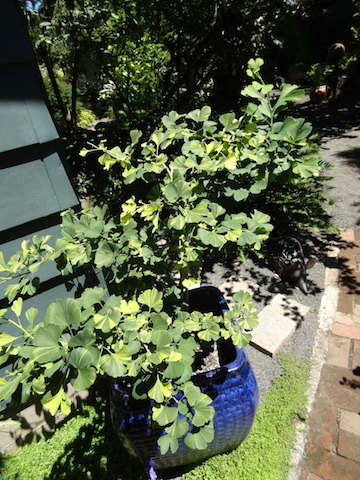variegated gingko.  (I wonder if mine would have been happier in a pot.)
