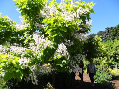 We were also advised to smell the blossoms of the catalpa tree.
