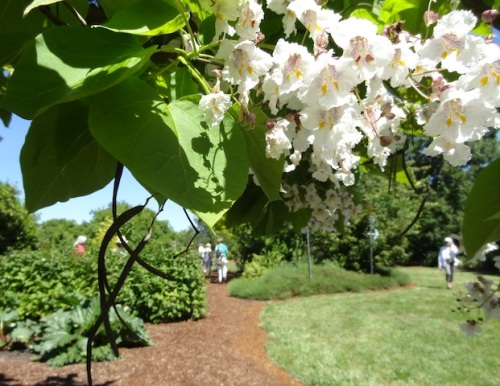 I read later that the catalpa is also known as worm tree because of the pods.