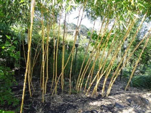 bamboo, pruned for light and space