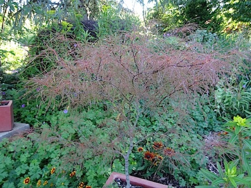 Acer palmatum 'Fairy Hair' aroused plant lust.