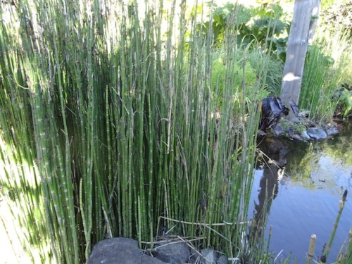 handsome horsetail
