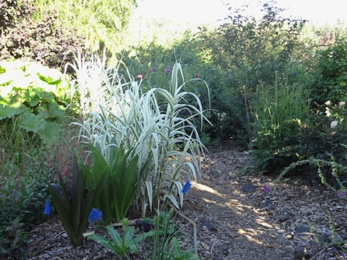 oooh....Arundo donax variegata...I used to have this.