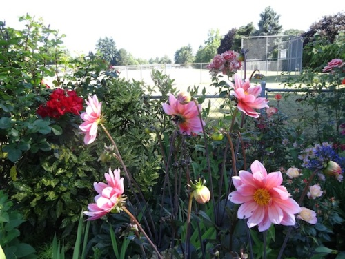 dahlias and the ballfield