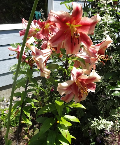 intensely fragrant lilies