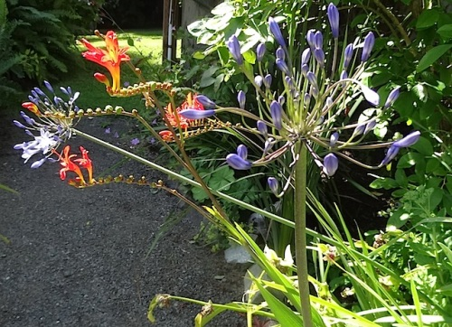 Agapanthus and Crocosmia 'Lucifer'