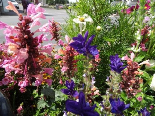 Agastache 'Acapulco Salmon and Pink' and Salvia viridis