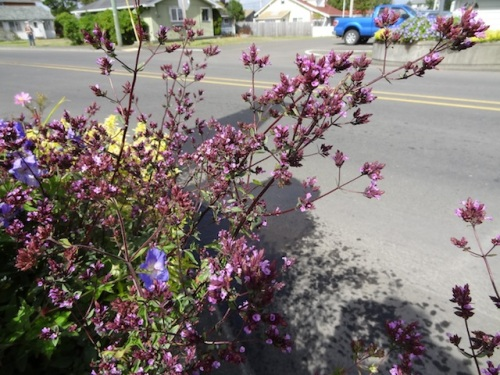 I love the precise flowers of Oregano 'Hopley's Purple'.