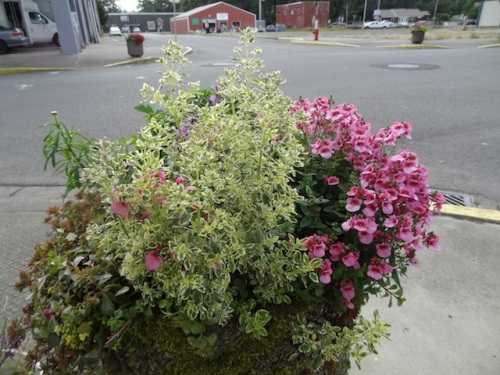 Just one of these gorgeous variegated oreganos have been stolen recently (by the Ilwaco Pharmacy).
