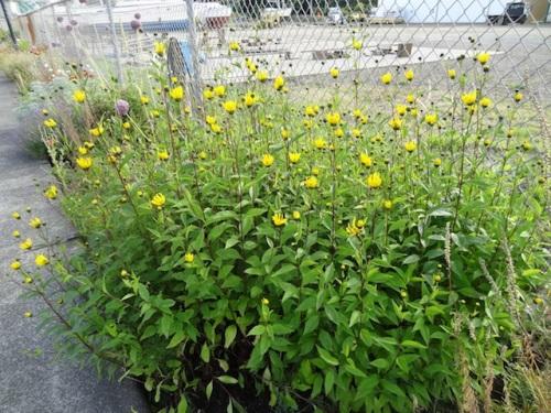 a vigorous perennial sunflower