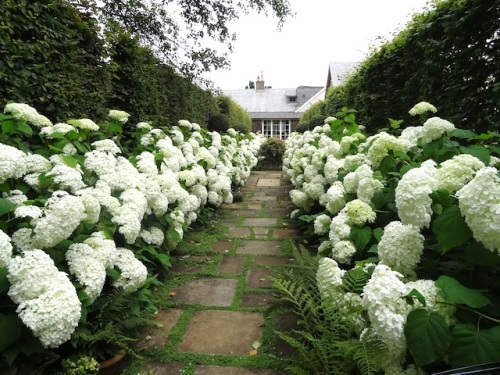 the allée of Hydrangea 'Incrediball'