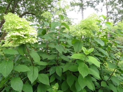 a creamy, limey hydrangea