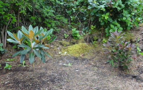 two young rhododendrons, each so different