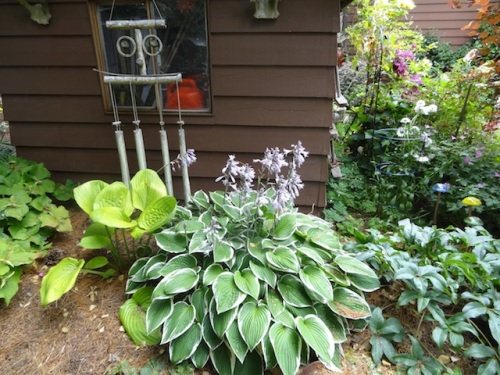 well grown hostas