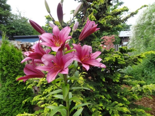 front garden lily