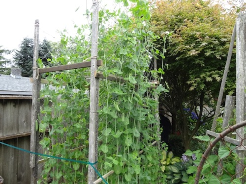 pea tower