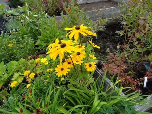 I did get myself another Rudbeckia. Not this one, 'Little Goldstar' instead. And an interesting climber, Hydrangea integrifolia.