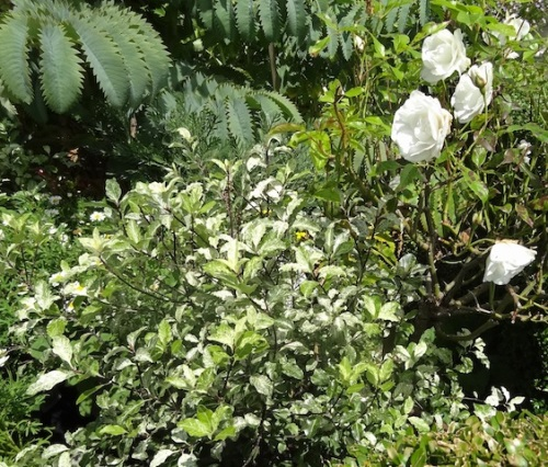 onward down the south side: a pittosporum with black stems, white rose, Melianthus major leaves
