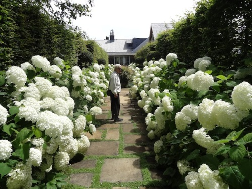 Our Patti in the hydrangea allée