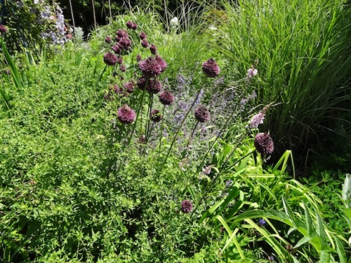 Drumstick alliums have gone all purple now.
