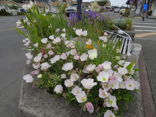 pink oenothera in one of the planters