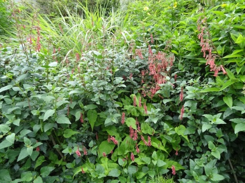 The deer who live in this garden are finally letting us have some phygelius and persicaria flowers.