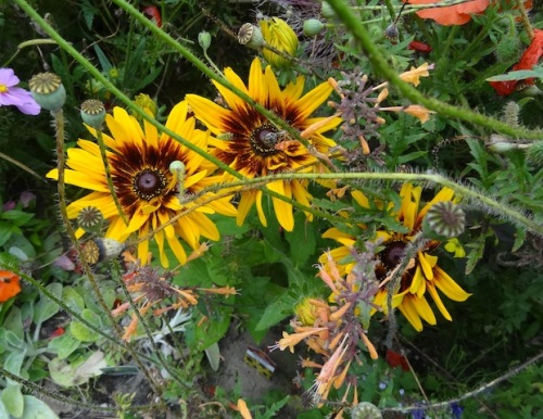 one of the rudbeckias I added this year