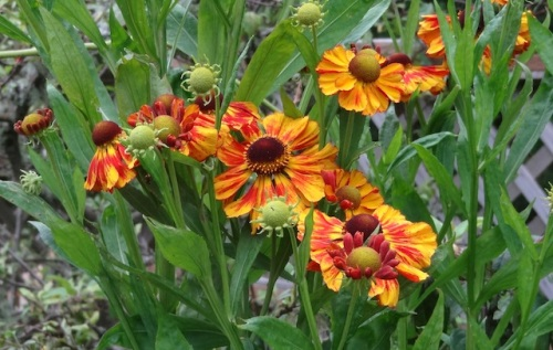 more heleniums