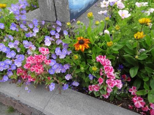 sidewalk side: Geranium 'Rozanne', godetia, echibeckia