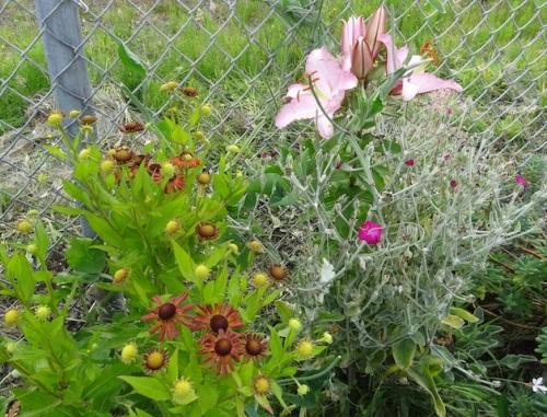 helenium, rose campion, lilies