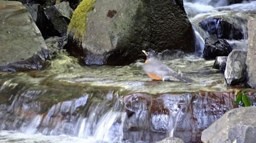 robin in the waterfall (Allan's photo)