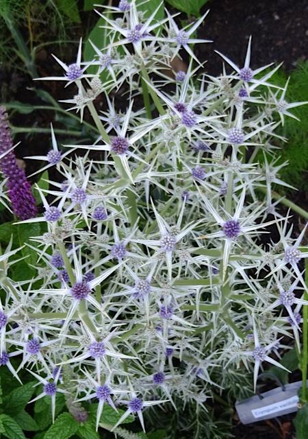 Eryngium variifolium (Allan's photo)