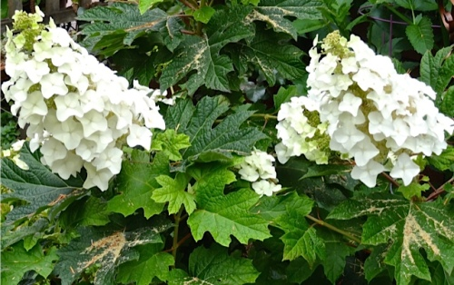 oakleaf hydrangea (Allan's photo)