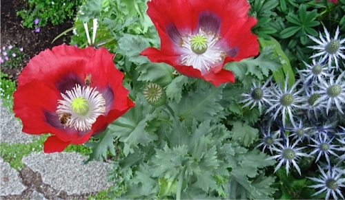 poppies and eryngium (Allan's photo)