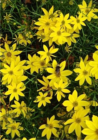 Coreopsis verticillata, possibly 'Zagreb' (Allan's photo)