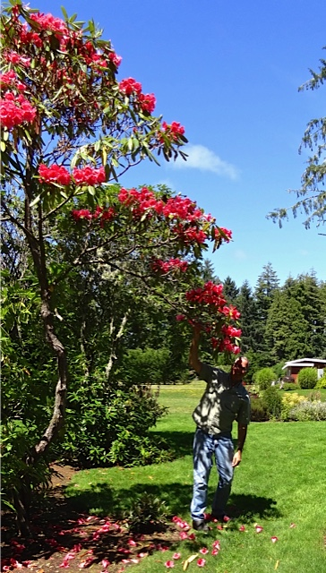 A rhodie in bloom, as we quested for a good back drop (Allan's photo; this spot was too sunny-shady)