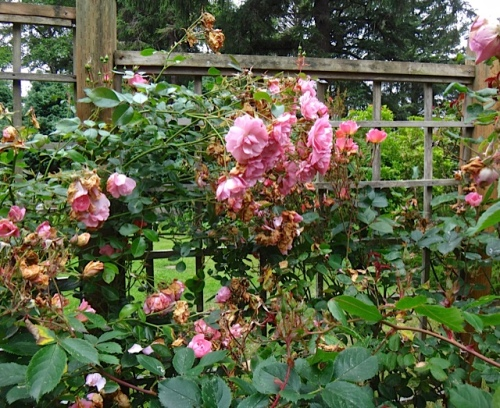 Allan's deadheading of 'New Dawn' rose, before