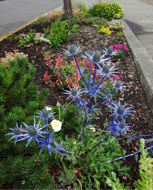 Eryngium 'Sapphire Blue' by the Ilwaco Pavilion (Allan's photo)