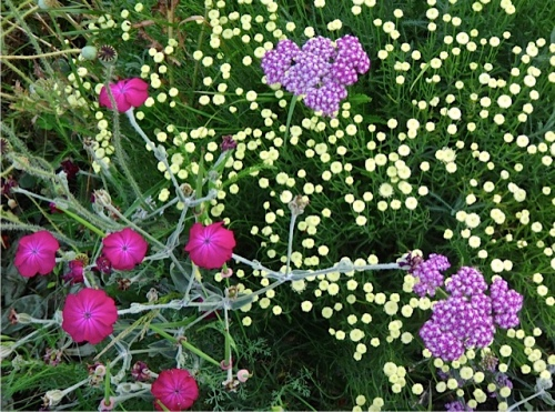 yarrow, rose campion, santolina (Allan's photo)