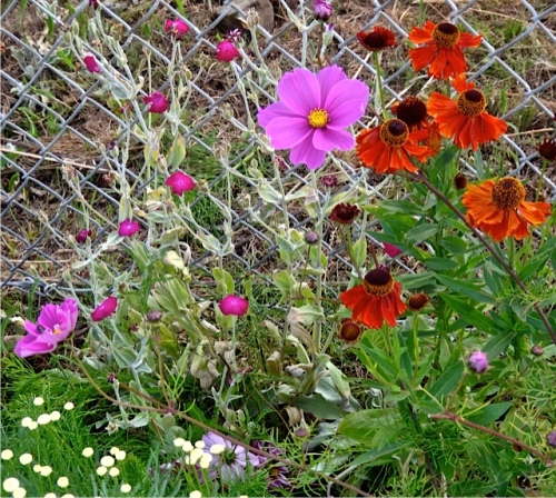 cosmos and helenium (Allan's photo)