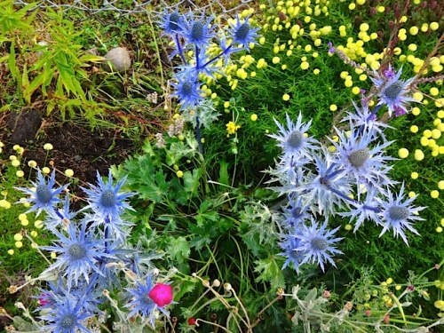 Eryngium 'Sapphire Blue' and santolina (Allan's photo)