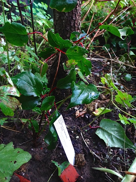 I gave Allan my new vine because I could not figure out where to plant it. Schisandra