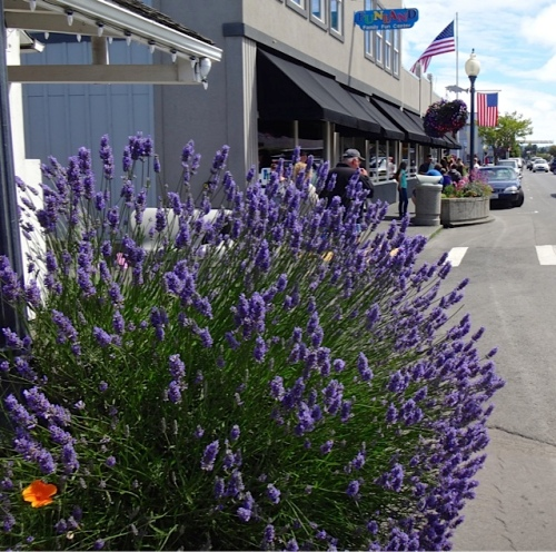 lavender that looks good on just one side. (The back is bare and woody). Allan's photo