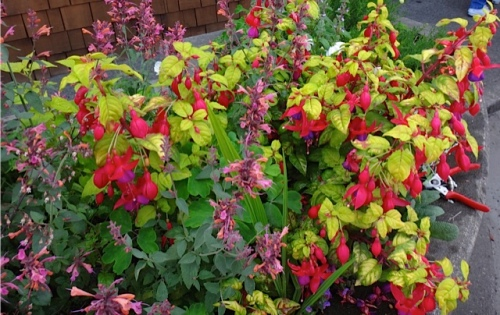 Hardy fuchsia and agastache in my favourite planter by Dennis Co. (Allan's photo)