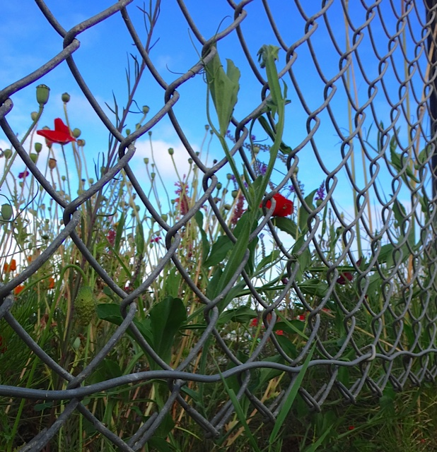 sweet peas on boatyard fence