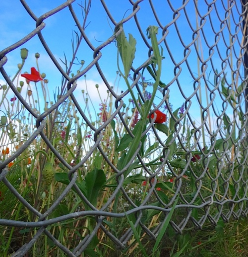 sweet peas on boatyard fence