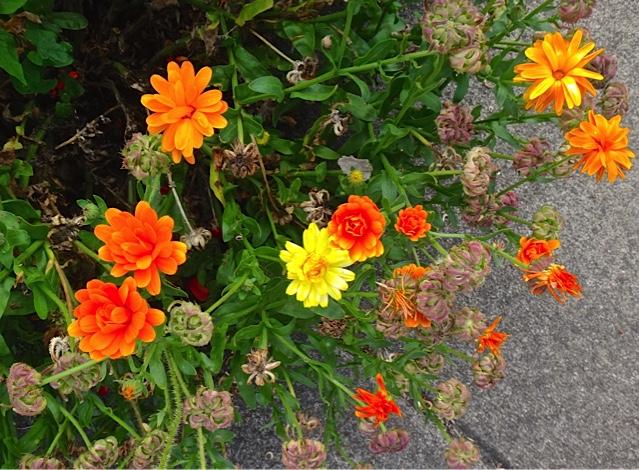calendula flowers and seeds